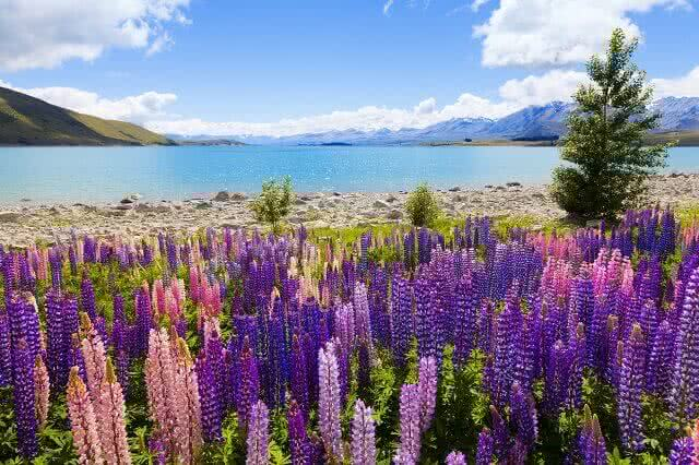 The lupins in full glory around Lake Tekapo