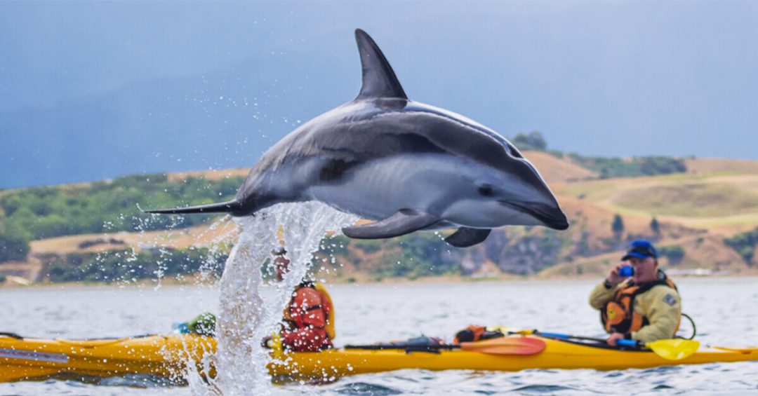 A dolphin jumping out of the water with two kayakers in the background