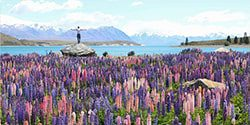 Image of a male standing on a rock in the middle of the lupins found on the shores of Lake Tekapo in the South Island - mobile